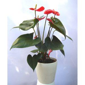 Саксиско цвеќе – Anthurium