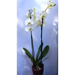Саксиско цвеќе – Phalaenopsis -2