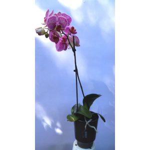 Саксиско цвеќе – Phalaenopsis