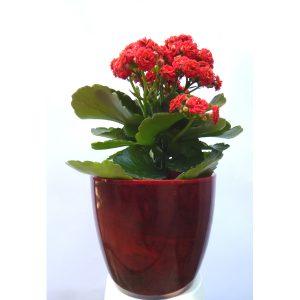 Саксиско цвеќе – Kalanchoe – 2