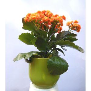 Саксиско цвеќе – Kalanchoe – 1