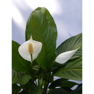 Саксиско цвеќе – Spatifil