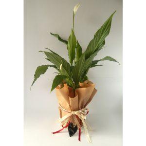 Саксиско цвеќе – Spatifil 1