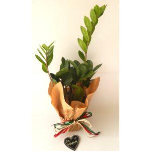 Саксиско цвеќе – Замија