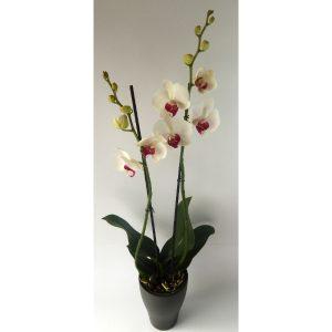 Саксиско цвеќе – Орхидеа со две стебла