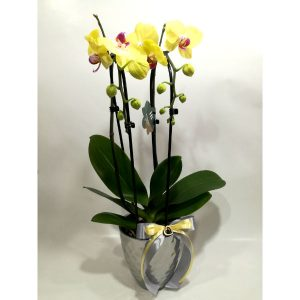 Саксиско цвеќе – Орхидеа
