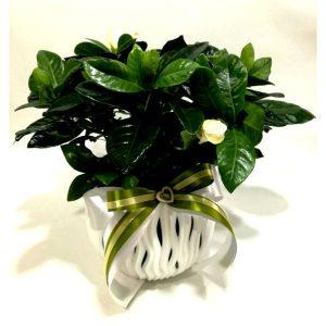 Саксиско цвеќе – Гарденија