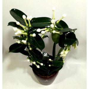 Саксиско цвеќе – 4-2
