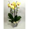 Саксиско цвеќе – Орхидеа-2